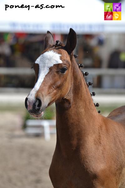 Calaghan de la Monie, champion des mâles foals Pfs (par Ulk d'Eté et Hegire de Kerdour par Nico de Syrah) - ph. Pauline Bernuchon