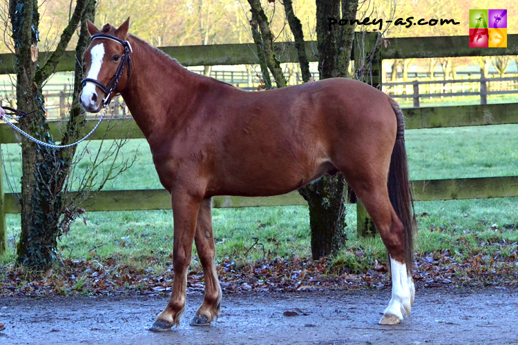 Birtley Orbit (Wb, 6 ans, Eyarth Red Pepper x Brookhouse Chuckler) - ph. Pauline Bernuchon