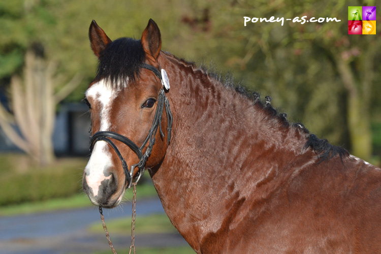 Royal du Bourray (Co, 10 ans, Gaelique de Louzes x Nathanael Darling) - ph. Pauline Bernuchon
