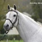 Montot Nabor la Claie de Florys étalon poney
