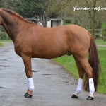 Selliany Candy étalon poney