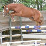 sologn'pony saut en liberté