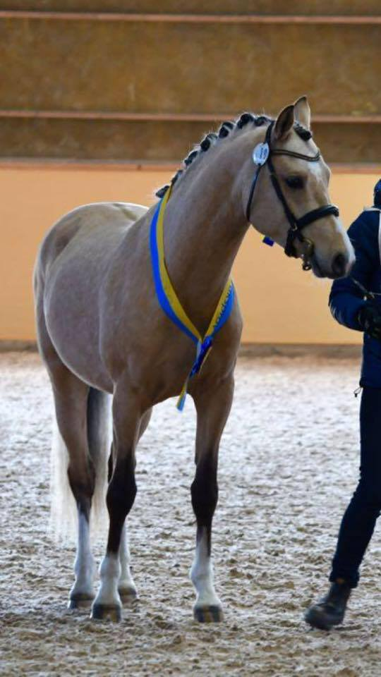 Orchard Zweed pony hengst