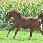 Kanshebber Nrps stallion