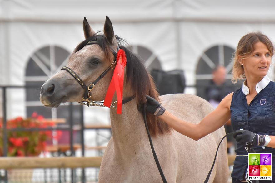 championne 1 an femelle connemara