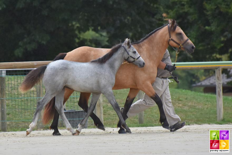 champion foals mâle connemara