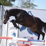 Hanakyn des Lyres, mâle Pfs de 2 ans sur le test de saut en liberté - ph. Poney As