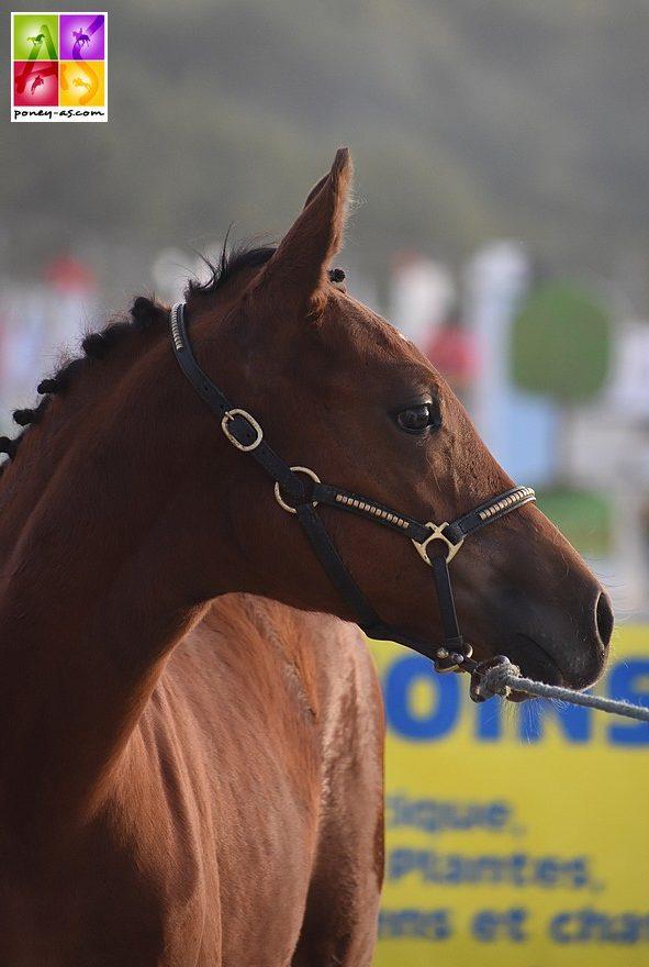 Julietta de Fegrol, 2e des foals et fille de la championne des poulinières Woodrow Delight's Dream - ph. Poney As