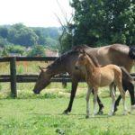 Virtuose Teakitina foal, en compagnie de sa mère Ratina de la Folie - ph. Anaïs Thibot