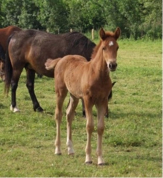 Prim' Pearl foal - ph. coll. Bernard Vaucher