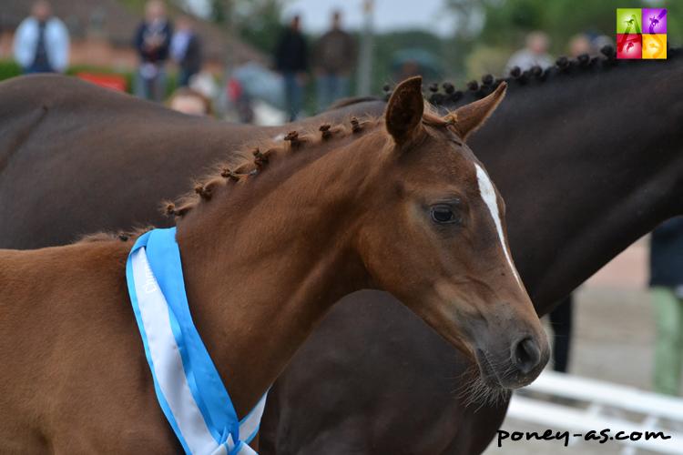 Championne des foals, Da'Ronn Normande (par Aron N SL, Drp et Soinie de Montiege par Linaro SL, Poet) - ph. Pauline Bernuchon