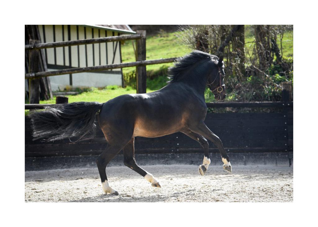 orchard stallion pony sport
