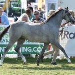 RWS 2018 welsh pony
