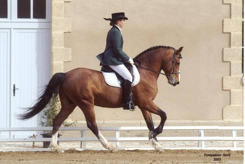 L'étalon Etoile d'Hardy, sélectionné pour les championnats d'Europe de Dressage en 2002 - ph. coll. privée