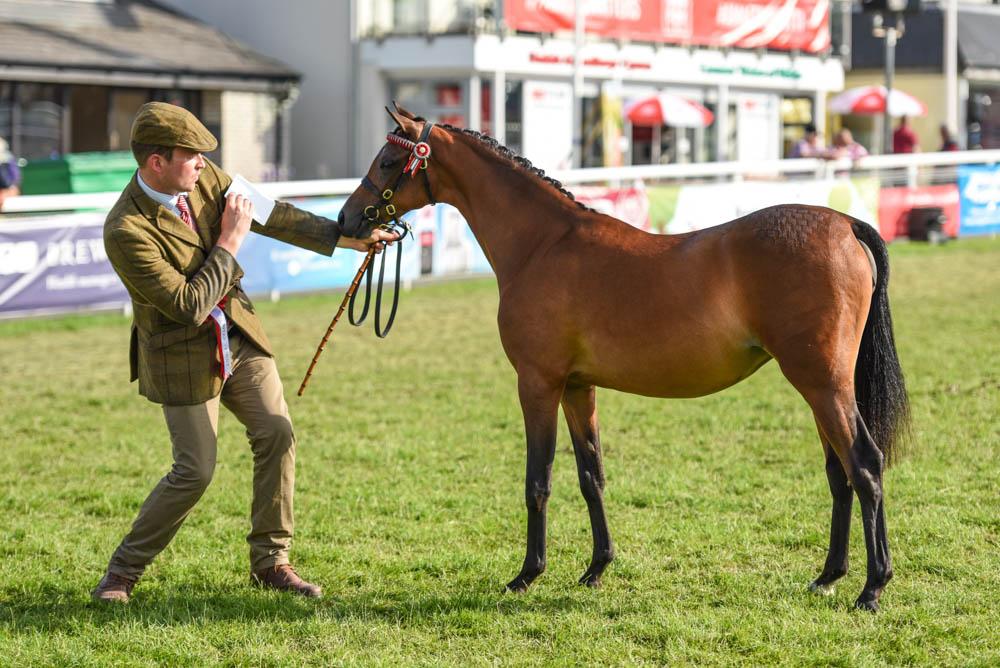 Moorhall Peter Pan, mâle de 2 ans, champion des Jeunes section Welsh part-bred – ph. coll. Equinepix