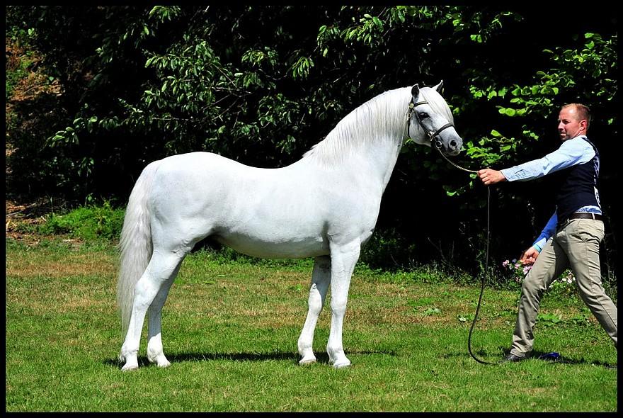 Autre poney né chez Ingrid Delaître, Adagio de l'Aurore prend la 2e place de la classe des étalons Welsh B – ph. coll. Kimberley Karsdorp