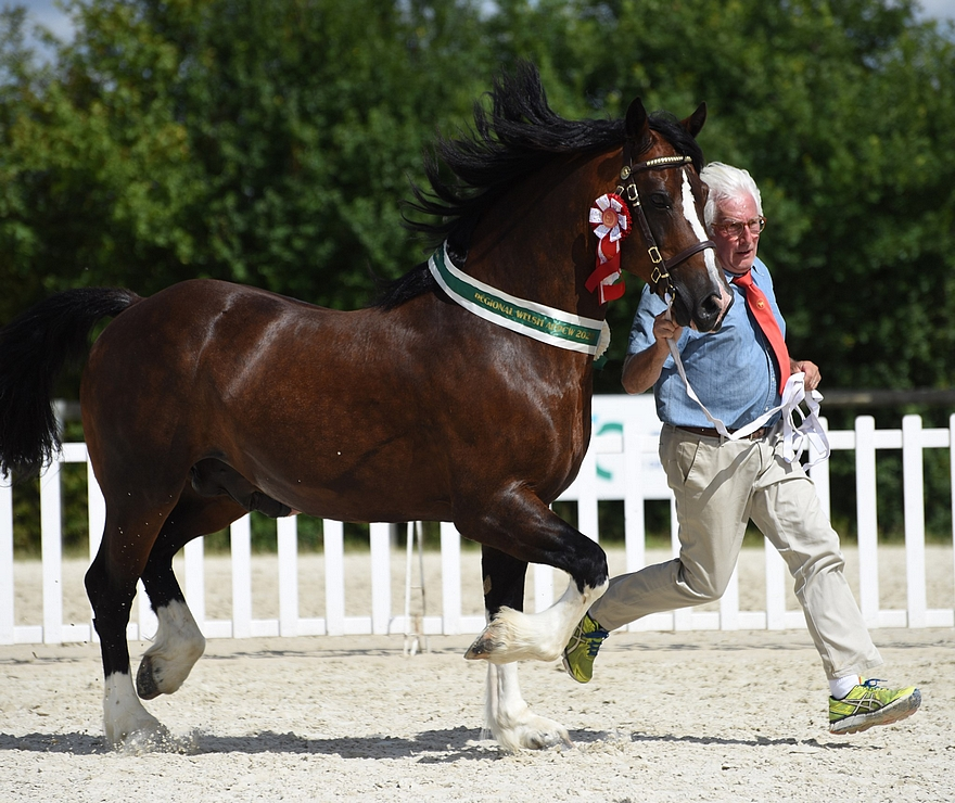 L'étalon Welsh Cob Thorneyside The Contender sacré champion Suprême – ph. Simonphoto