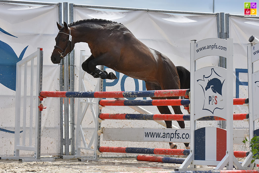 It Boy Alias, le champion des mâles Pfs de 2 ans - ph. Poney As